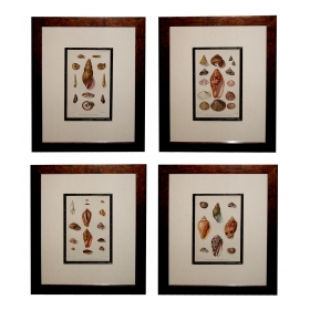 a well-executed set of four english hand-colored lithographs depicting tropical sea shells; with han